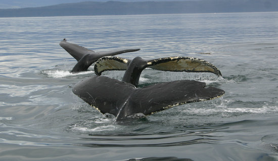 Cross Sound Express Whale Watching : An all too common sight on our tours
