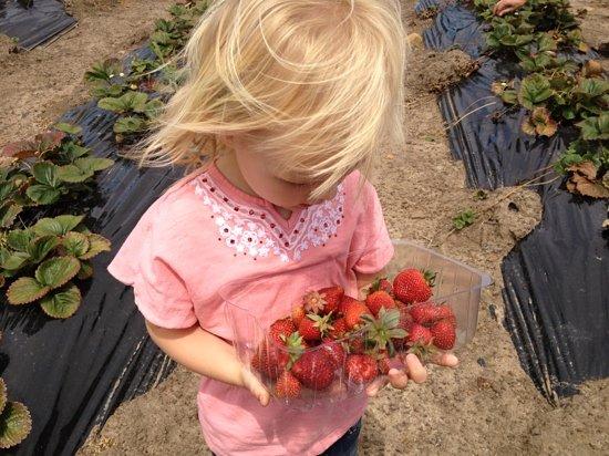 Tasmania, Australia: picking strawberries