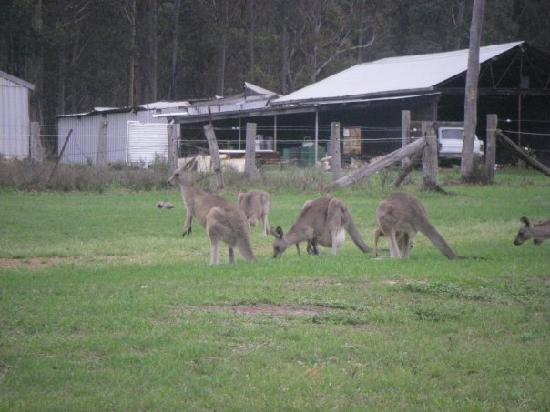 Hunter Hideaway Cottages: This one was taken a couple of years ago. There's always kangaroos around when we go though