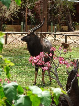 Kubu Safari Lodge: Ein Njala im Garten
