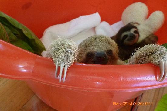 Monteverde Sloth Santuary: 2 bébés paresseux avec leur peluche