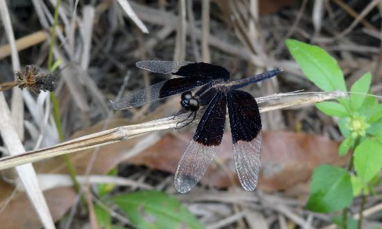 Hong Kong Wetland Park: Even black dragonflies