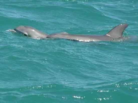 FishSkinner Charters: Dolphins Swimming Near The Boat