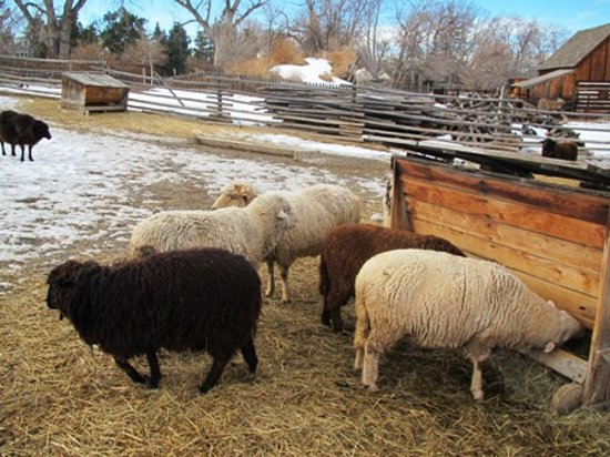Littleton, CO: The living historical farms surround the indoor museum and feature a variety of critters.