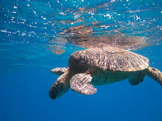 Hawaii Nautical: one of many turtles at all the sites