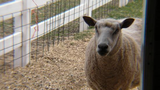 Heritage Park: Sheep