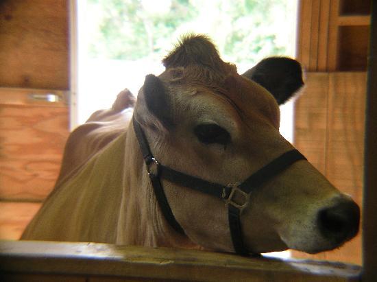 Heritage Park: Cow