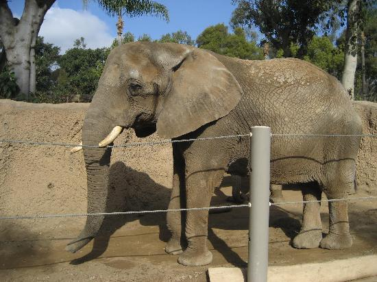 African Elephant Picture Of San Diego Zoo San Diego