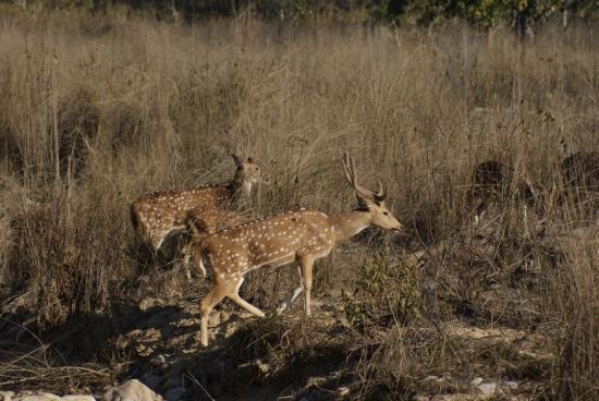 Infinity Resorts: Spotted deer