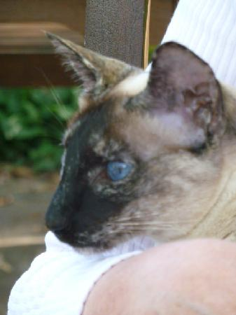 Cafe Green Ginger: Visiting Siamese cat to the Cafe Ginger garden