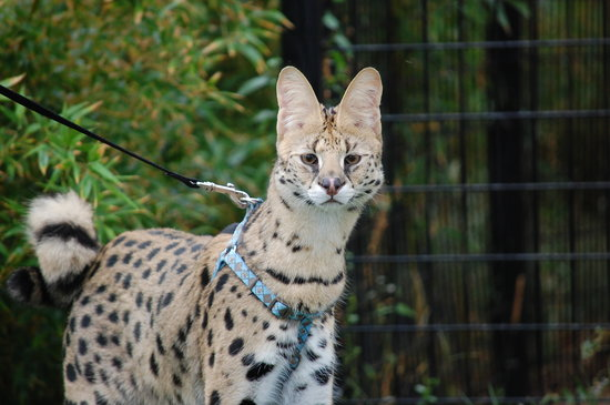 Goddard, KS: taking a walk with a serval