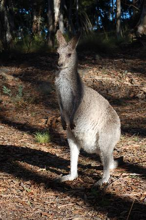 Mt Kaputar National Park: Eastern grey kangaroo
