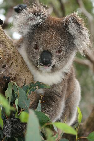 Koalas at Yanchep National Park