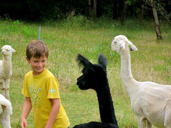 Madison's Mountain Retreat: Encounter with the favorite Alpaca