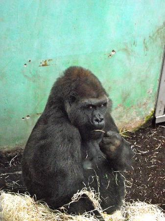 Tierpark Hellabrunn: gorilla eating a xmas tree