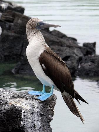 Galapagos Safari Camp: Tortuga Bay, Santa Cruz - Blue Footed Booby