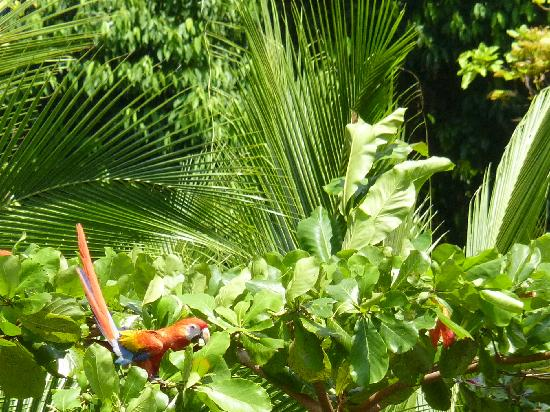 Crocodile Bay Resort: scarlet macaws