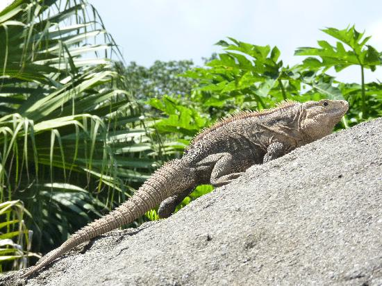 Crocodile Bay Resort: the iguana that lives by the hot tub