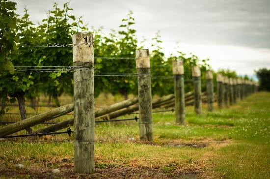 Stonehaven Homestay: Beautiful vineyards
