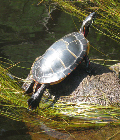 Nurture Through Nature Eco-cabin Rentals and Retreats: Painted turtle on a nearby waterway visited by canoe!