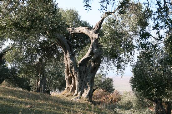 Apollonia: Ölbaum