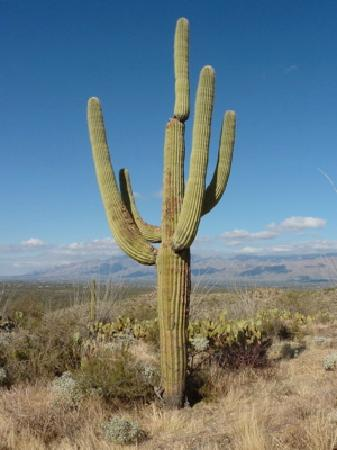 Rincon Mountain Visitor Center: Lone Saguaro