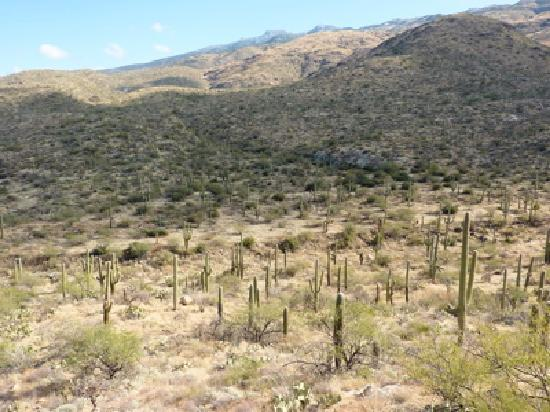 saguaro forest riparian overlook cactus forest loop drive picture of rincon mountain visitor. Black Bedroom Furniture Sets. Home Design Ideas
