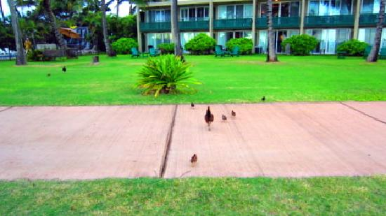 Hotel Coral Reef: Kauai's resident wild chickens love to be fed and once fed, they will be your friends for as lon
