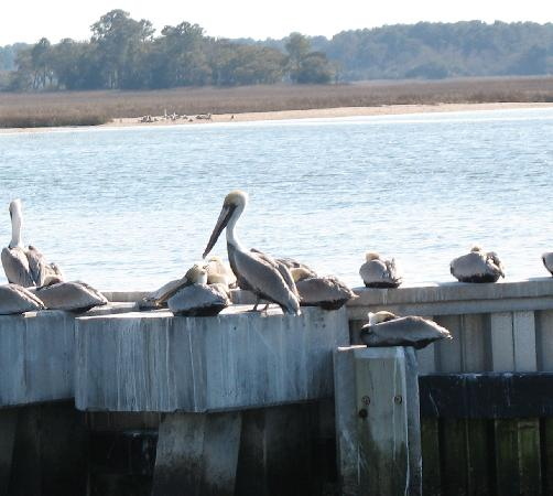 Sea Pines Resort: Pelicans at Harboutown