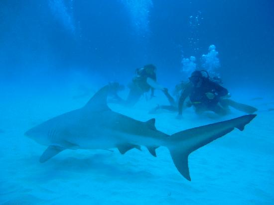 Sharks picture of dive shop mexico playa del carmen - Dive shop mexico ...