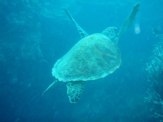 Illusions Whitsundays: I dived with a turtle!