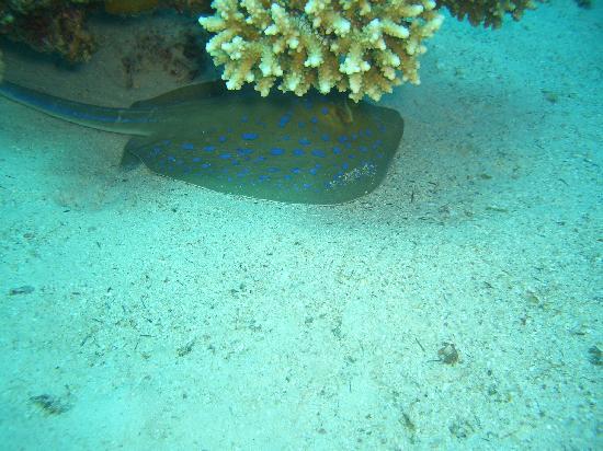 Aqua Divers: ray