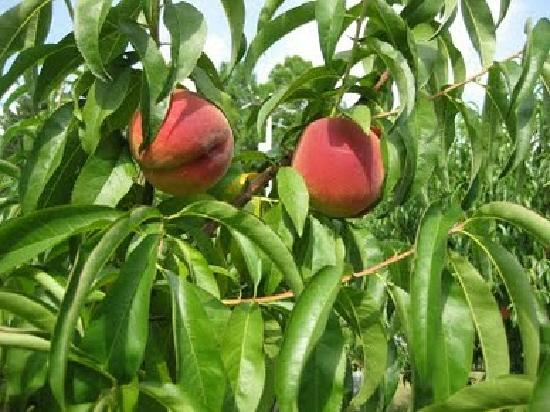 Fifer Orchards - Farm, Country Store and CSA: Tree ripened Fifer peaches