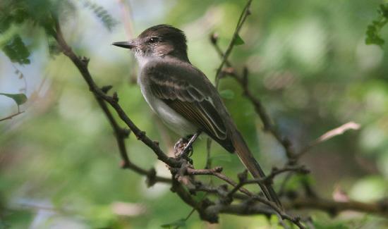 Gabriel Lugo Birding Tour Guide: Puerto Rican Flycatcher