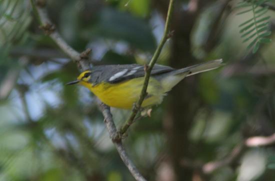 Gabriel Lugo Birding Tour Guide: Adelaide's Warbler