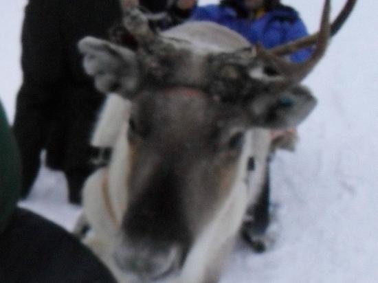 Hotel Jussantupa: The gorgeous Reindeer