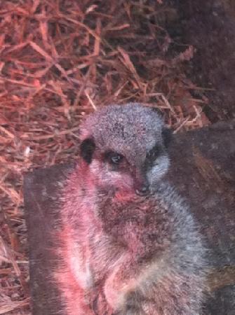 Banham, UK: meerkats