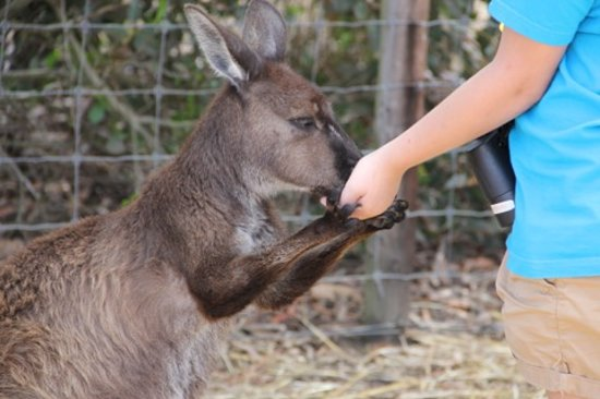 Parndana Wildlife Park: Feed the Kangaroos