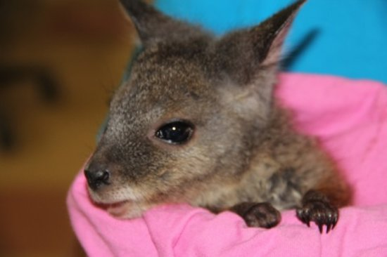 Parndana Wildlife Park: Hold a rescued baby wallaby