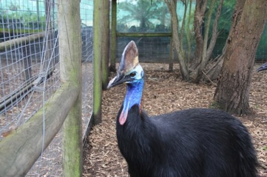 Parndana Wildlife Park: Cassowary - you don't want to get into the pen with one of these...
