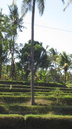 Buleleng, Indonesia: Sawah