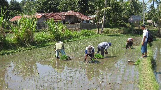 Buleleng, Indonesia: working in the sawah