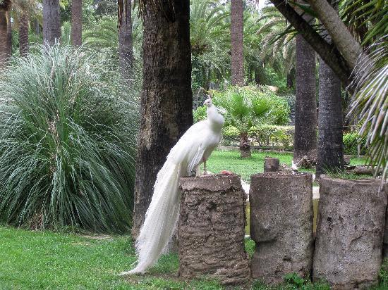 Zoobotánico Jerez: Albino Peacock
