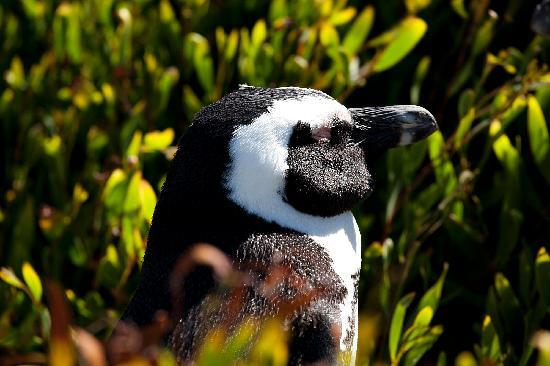 Boulders Beach: Pinguino