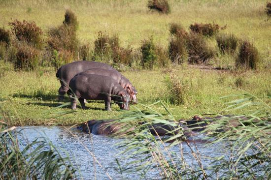Nalson's View : Hippos St. Lucia