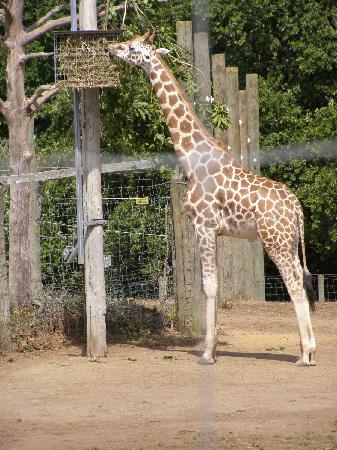 Giraffe Feeding at Hamilton Zoo