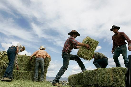 Reno Rodeo Cattle Drive: Buck those bales..