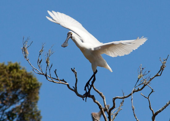 White Heron Sanctuary Tours: Royal Spoonbill at sanctuary