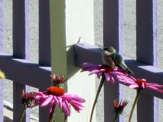 Abbett Placer Inn: A hummingbird in the inn's garden.
