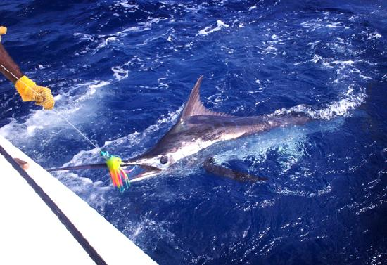 Deep sea fishing picture of discover soufriere for Deep sea fishing st lucia